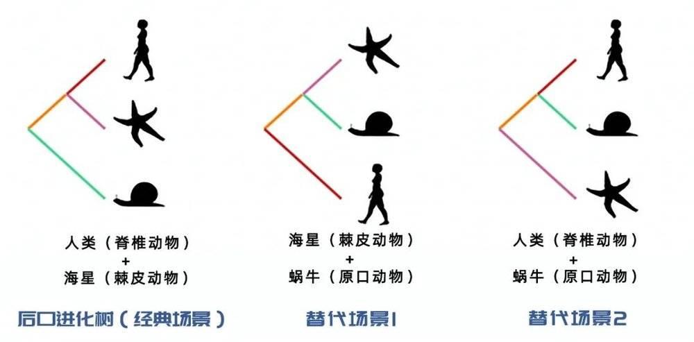 三种可能的进化树。| 图片来源:Max Telford<br label=图片备注 class=text-img-note>